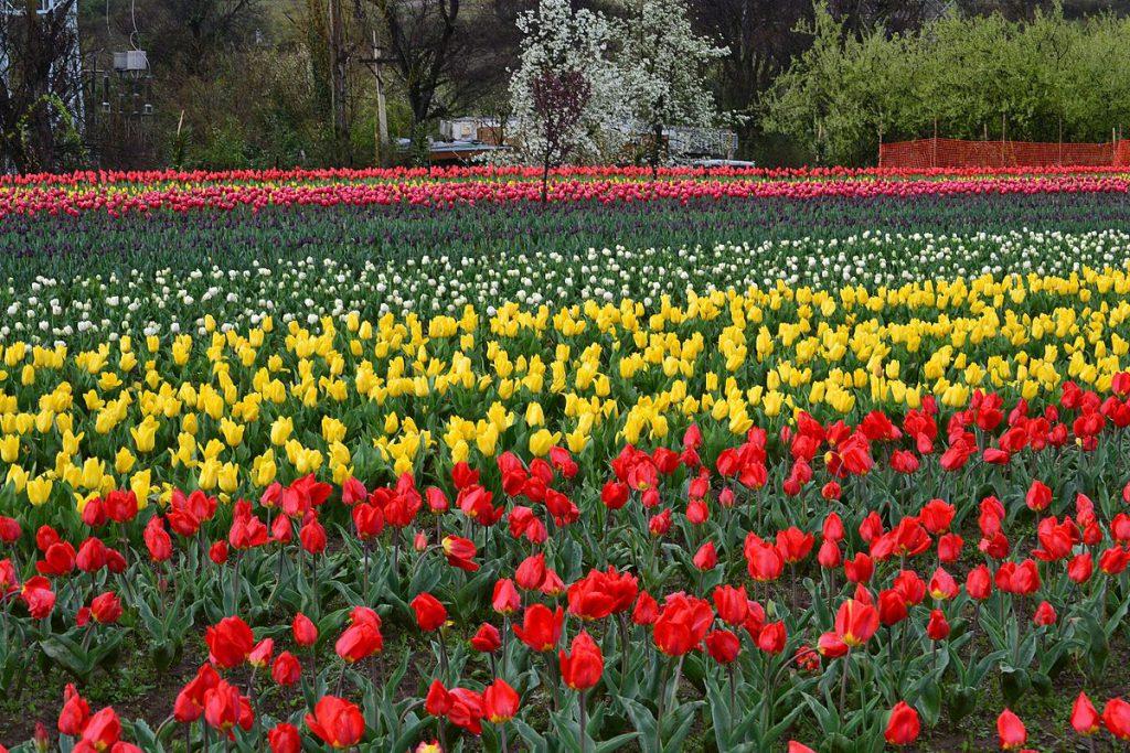 Tulip_Gardens